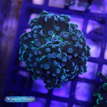 Coral Frog ( Diversos  Tipo A)
