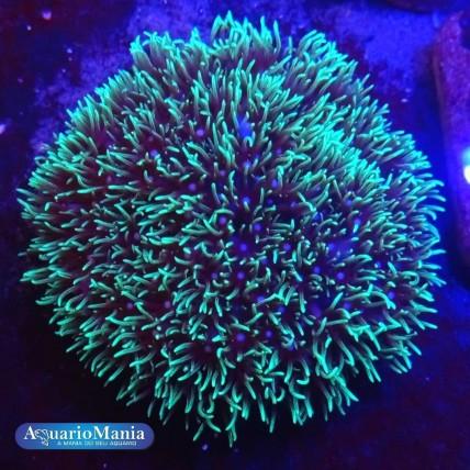 Coral Eletric Green Star...