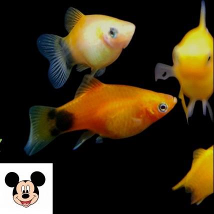 Platy Mickey ( Xiphophorus...