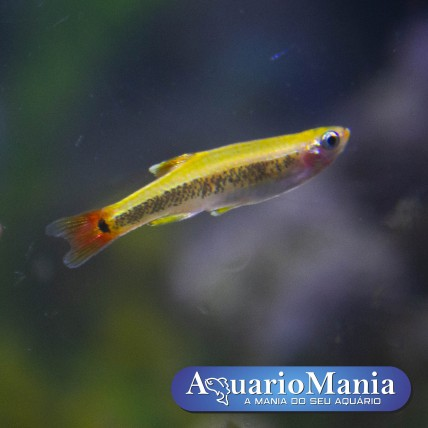 Tanictis gold (Tanichthys...