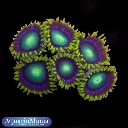 Coral Zoanthus Alien Eyes +...